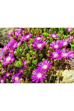 YEŞİLİMARKET Acem Halısı Fidesi 20 Adet Çiçek Açan Yer Örtücü Bitki