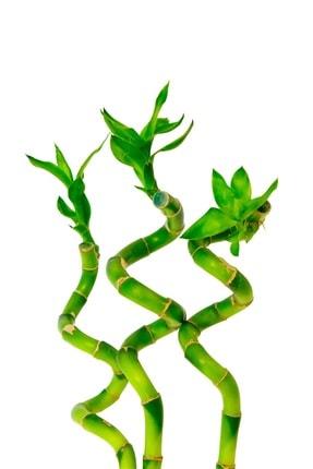 salsepete 3 Adet Şans Bambusu 40-50 Cm