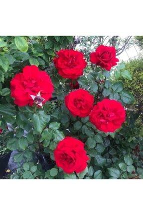 ADA TARIM 1 Adet Tüplü Isparta Meyland Kırmızı Kokulu Yediveren Gül Fidanı 1 Yaş 15-25 Cm