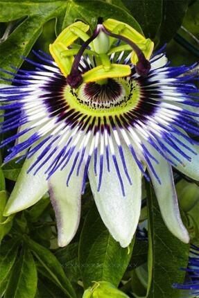 fidanci Pasiflora Bitkisi Çarkıfelek Çiçeği Saat Çiçeği Bitkisi Yetişkin Bitki