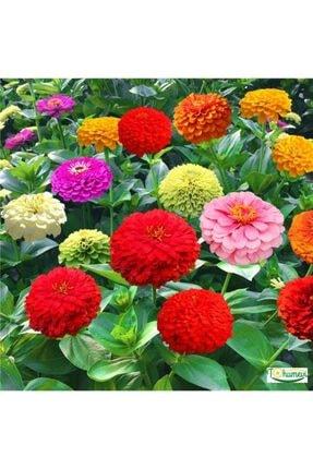 Tohumevi Zinnia Kirli Hanım Çiçeği 40 Tohum