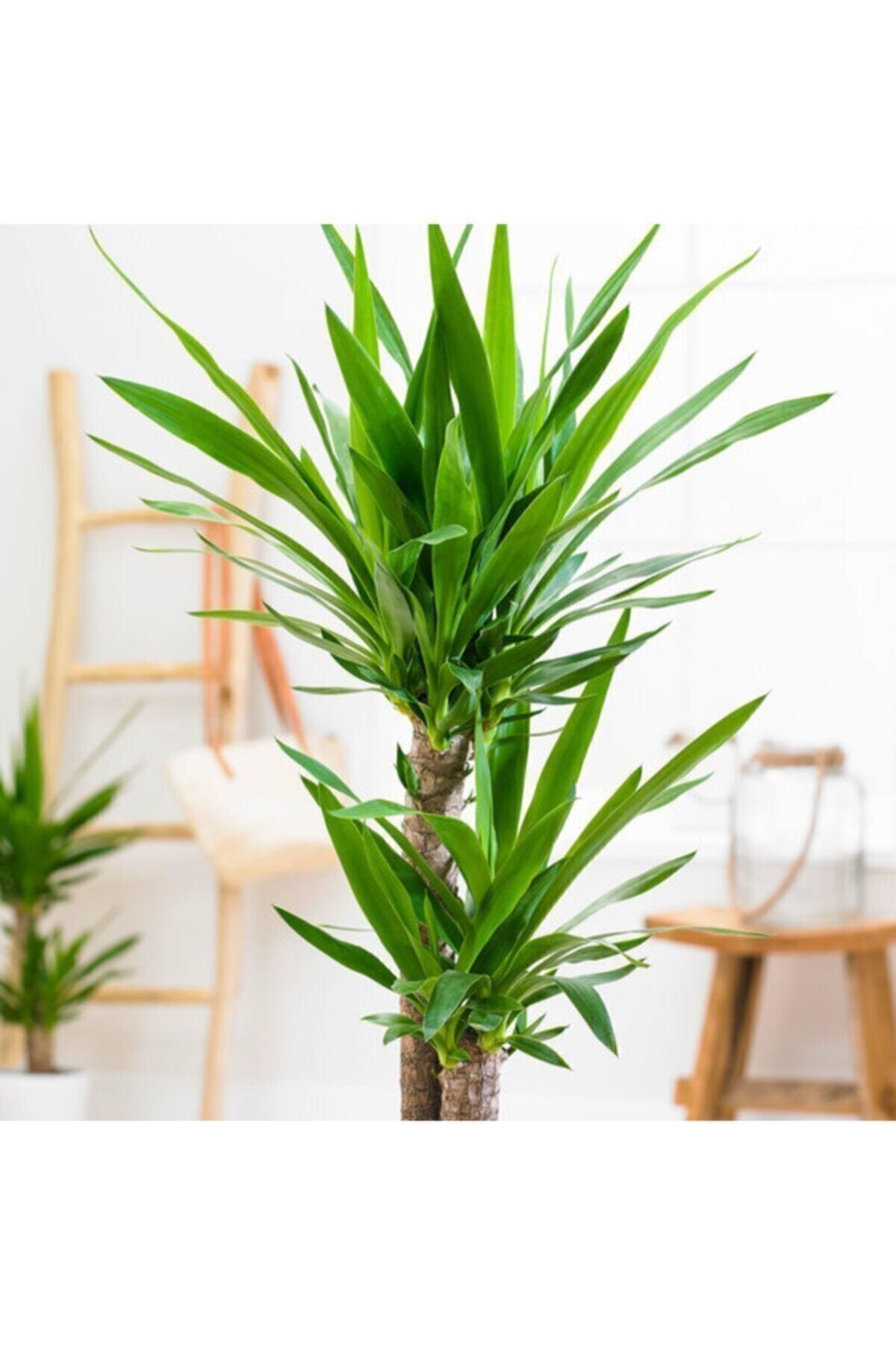 SalonBitkileri Yuka 2'li Çiçeği 80-100cm (Üretim Saksılı ) 2