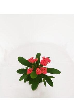 Bitki Fidanım Kırmızı Dikenler Tacı Çiçekli Ithal Euphorbia Milii 25-30 cm