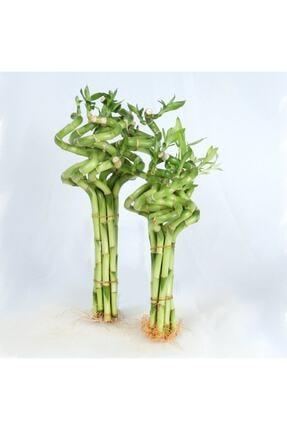 Berceste Peyzaj tasarım Dal Bambu Lucky Bamboo Şans Bambu 50 Cm 3 Lü Salon Ev Bitkisi