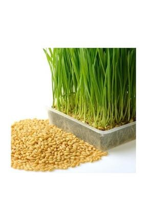 Ekodoğa Buğday Tohumu 1 Kg Buğday Çimi Tohumu Kedi Çimi