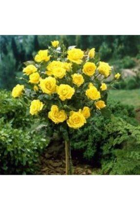 çilekdiyarii 1 Adet Baston Sarı Renk Gül Fidanı Tüplüdür