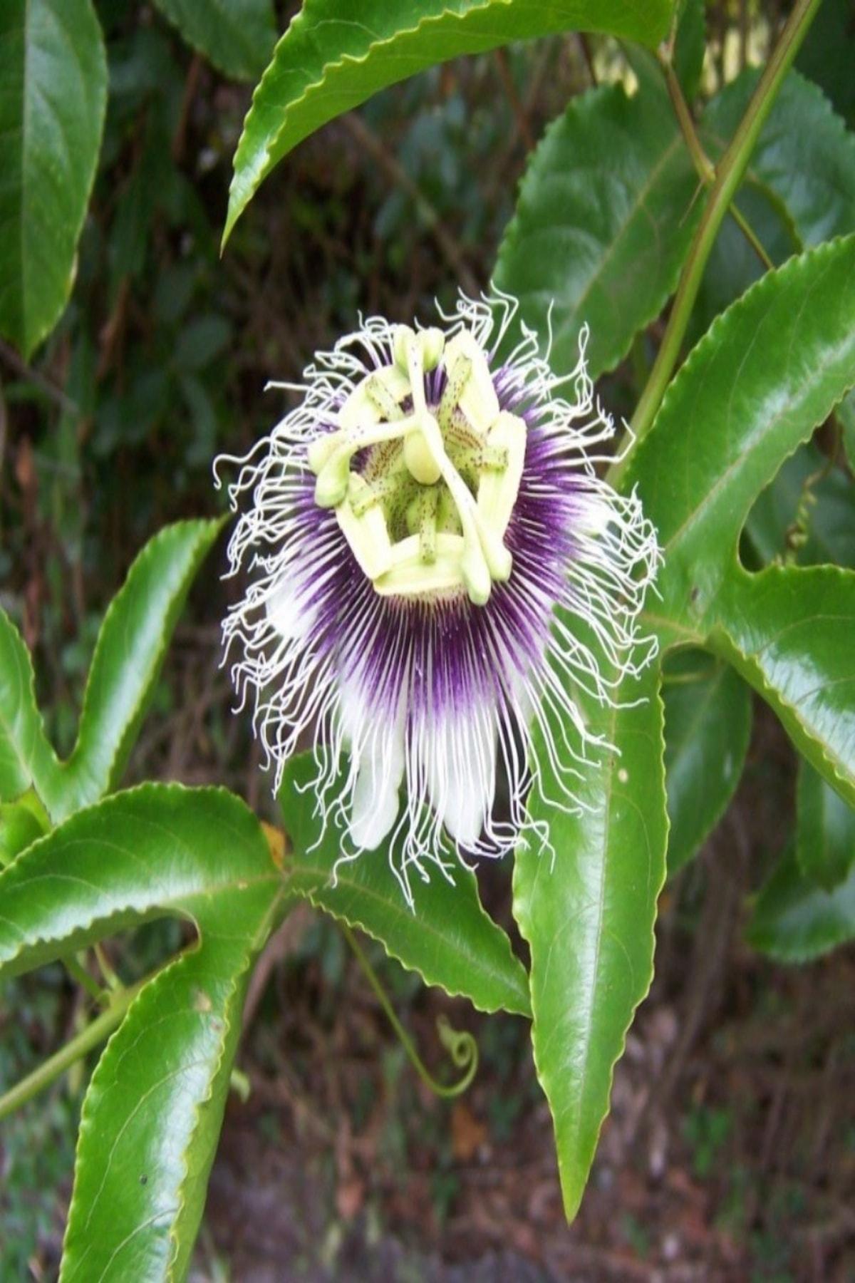 Bilgarden Tüplü Pasiflora Edulis Maruçya (maracuya) Fidanı 1