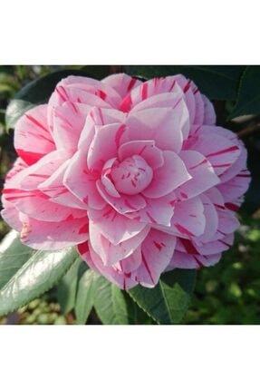 fidanciyiz Tüplü Pembe Çiçekli Kamelya Fidanı