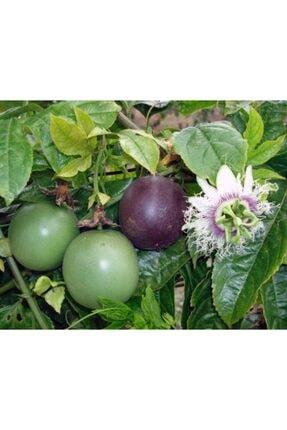 ruzgarbotanik Çarkıfelek Yenen Meyveli Pasiflora 70 cm