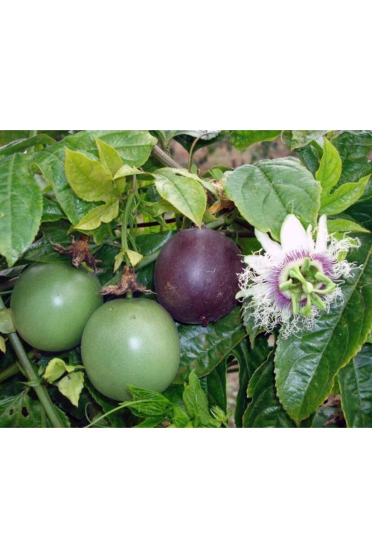 ruzgarbotanik Çarkıfelek Yenen Meyveli Pasiflora 70 cm 1