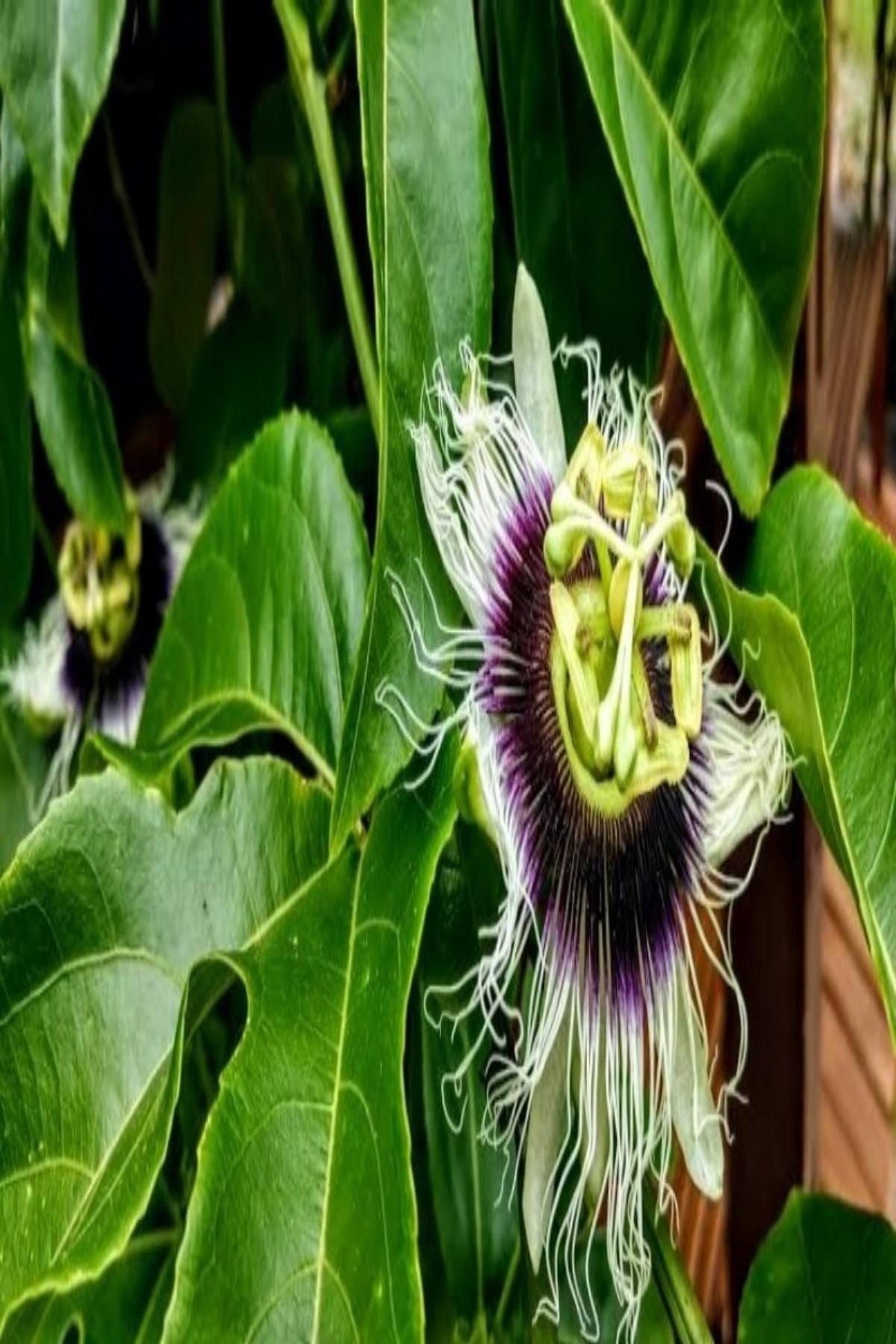 OnlineBahçem Tüplü Pasiflora Edulis Maruçya Çarkıfelek Fidanı 1