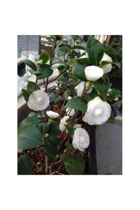 CC Tüplü Beyaz Çiçekli Kamelya Fidanı ( 40 Ile 60 Cm Arası)