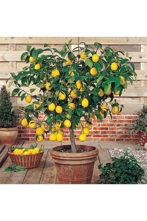 FarmLife Tohum Bodur Yediveren Limon Ağacı Tohumu