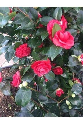 fidanciyiz Kamelya Çiçeği Kırmızı