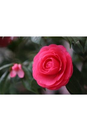 ruzgarbotanik 3 Adet Kırmız Kamelya Çiçeği Fidanı 60 Cm