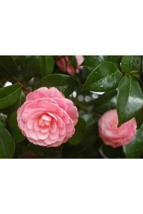 ruzgarbotanik 3 Adet Pembe Kamelya Çiçeği Fidanı 60 Cm