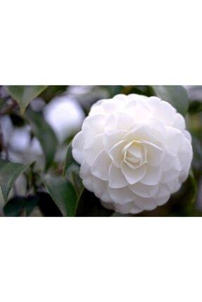 ruzgarbotanik 3 Adet Beyaz Kamelya Çiçeği Fidanı 60 Cm