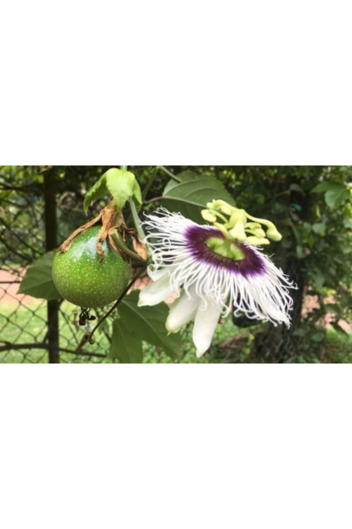 ruzgarbotanik Çarkıfelek Yenen Meyveli Pasiflora 70 cm 2