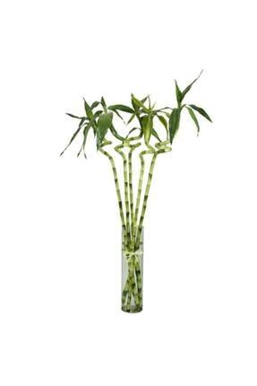 SalonBitkileri Şans Bambusu Lucky Bamboo 5li Paket 60cm