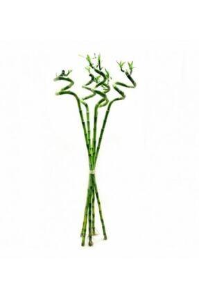 BİTKİ KARAVANI Lucky Bamboo 100 Cm (x5) ( Şans Bambusu )