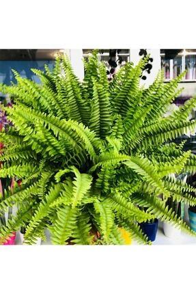 Özen Çiçekçilik Aşk Merdiveni Fujer Ev Ofis Çiçeği Nephrolepis Boston Fern Plant