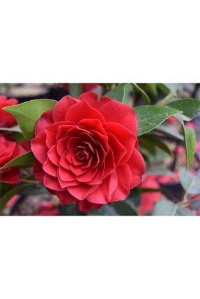fidanistanbul Camellia Japonica Black Lace Kırmızı Çiçekli Kamelya, Ithal, +100 Cm, Saksıda