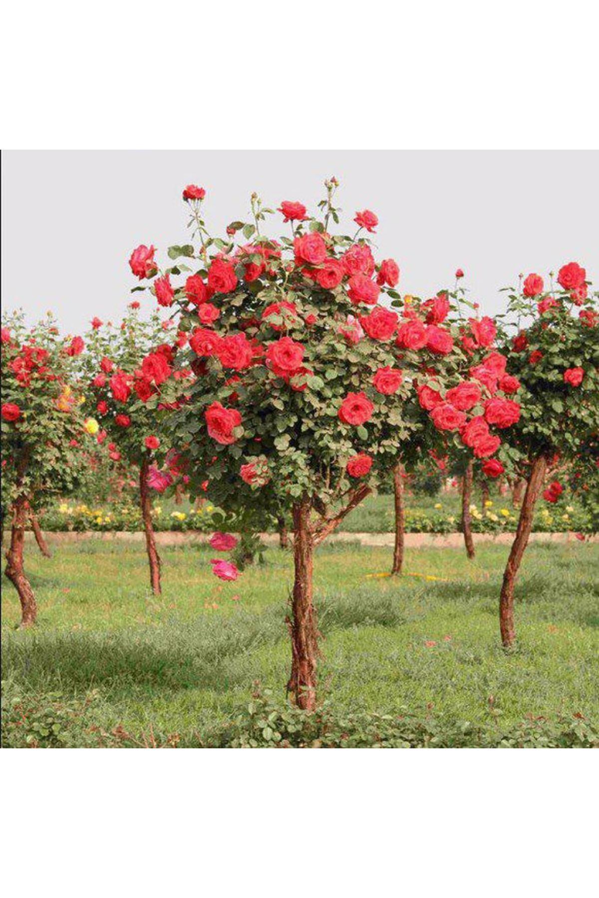 Tohum Dünyam 5 Adet Bodur Kırmızı Gül Ağacı Tohumu 1