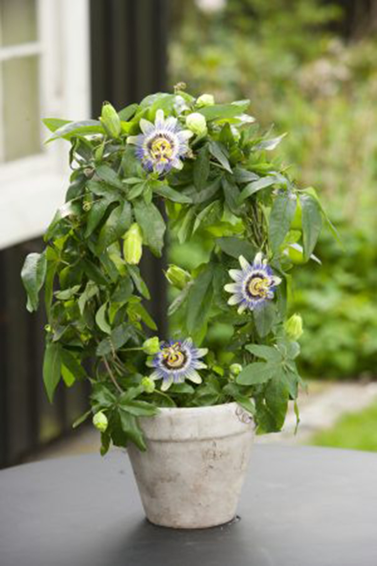 OXE GARDEN Pasiflora Çarkıfelek Çiçek Tohumu 5 Adet Doğal Tohum Saksı+torf Hediye Ev Bahçe Için Ideal 2