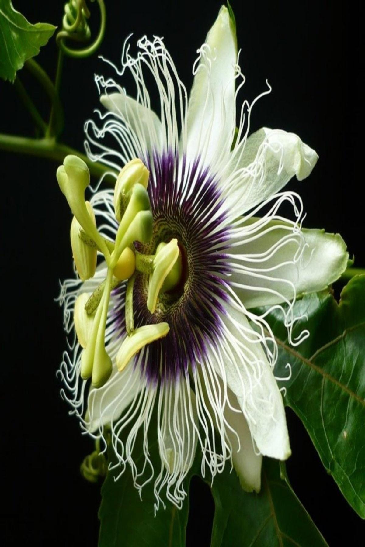 EvveBahce Tüplü Pasiflora Edulis Maruçya Fidanı 1