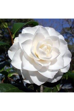 İdea Bahçe Tüplü Katmerli Beyaz Çiçekli Kamelya Fidanı(10-20 Cm)