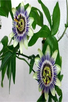 Reyon Ermenek Tüplü Pasiflora Edulis Maruçya Fidanı