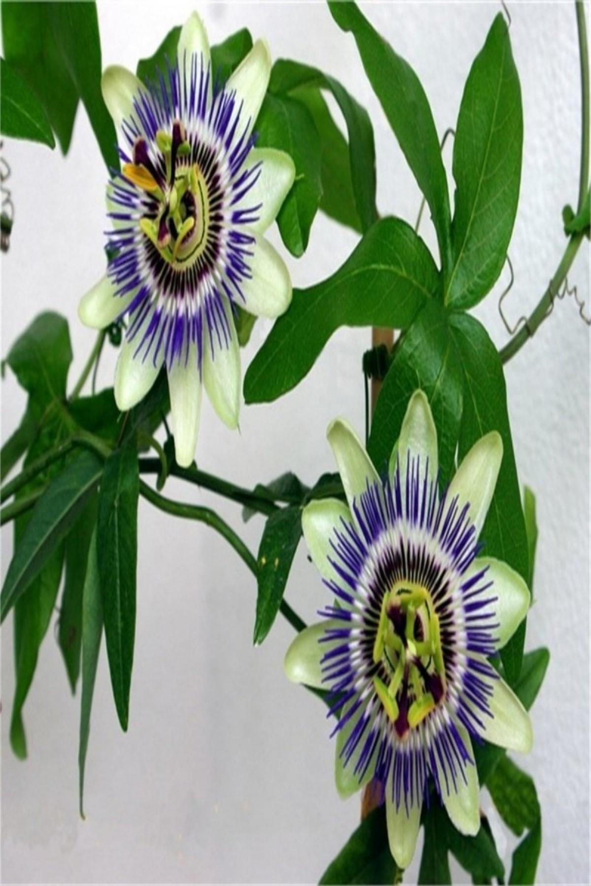 Reyon Ermenek Tüplü Pasiflora Edulis Maruçya Fidanı 1