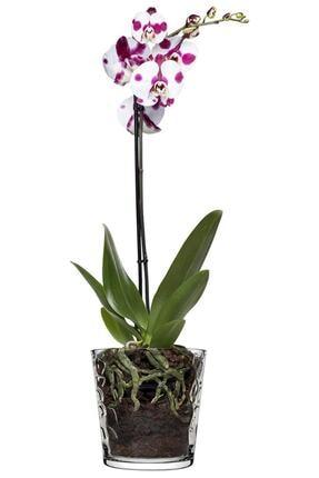 Paşabahçe Botanica Taş Gravürlü Orkide Saksısı Kalın Cam Saksı Vazo