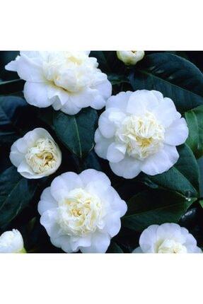 Mutlu Paket Tüplü Katmerli Beyaz Çiçekli Kamelya Fidanı(10-20 Cm)