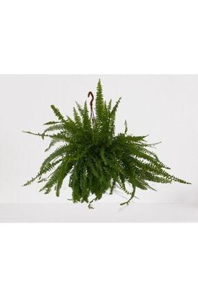 Bitki Fidanım Aşk Merdiveni Askılı Nephrolepis 30-40 Cm