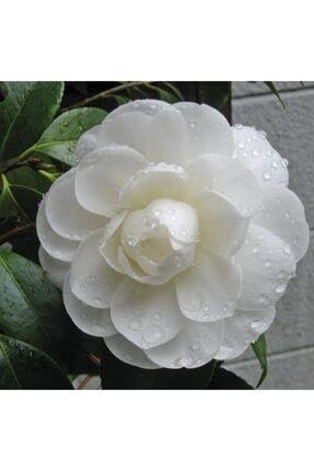Bilgarden Tüplü Katmerli Beyaz Çiçekli Kamelya Fidanı(10-20 Cm)