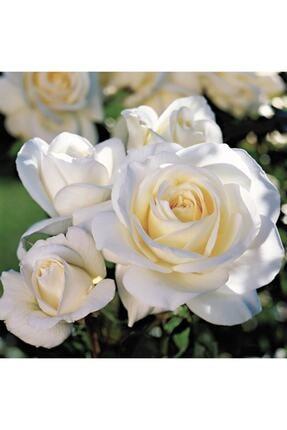 ADA TARIM 2 Adet Krem Beyazı Yediveren Kokulu Gül Fidanı Açık Kök 1,5 Yaşında
