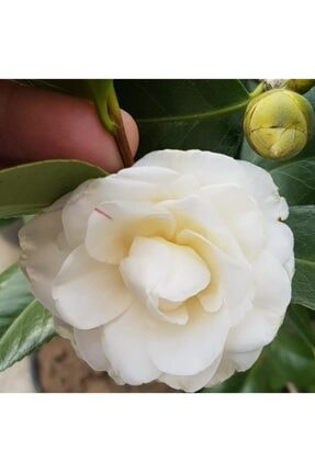 EvveBahce Tüplü Katmerli Beyaz Çiçekli Kamelya Fidanı (10-20 Cm)