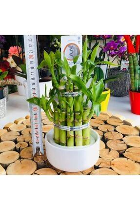 Özen Çiçekçilik Seramik Saksıda Lucky Bamboo Şans Bambusu