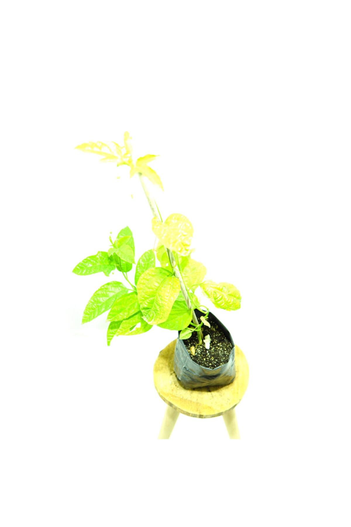 Kösem Botanik Pasiflora 1