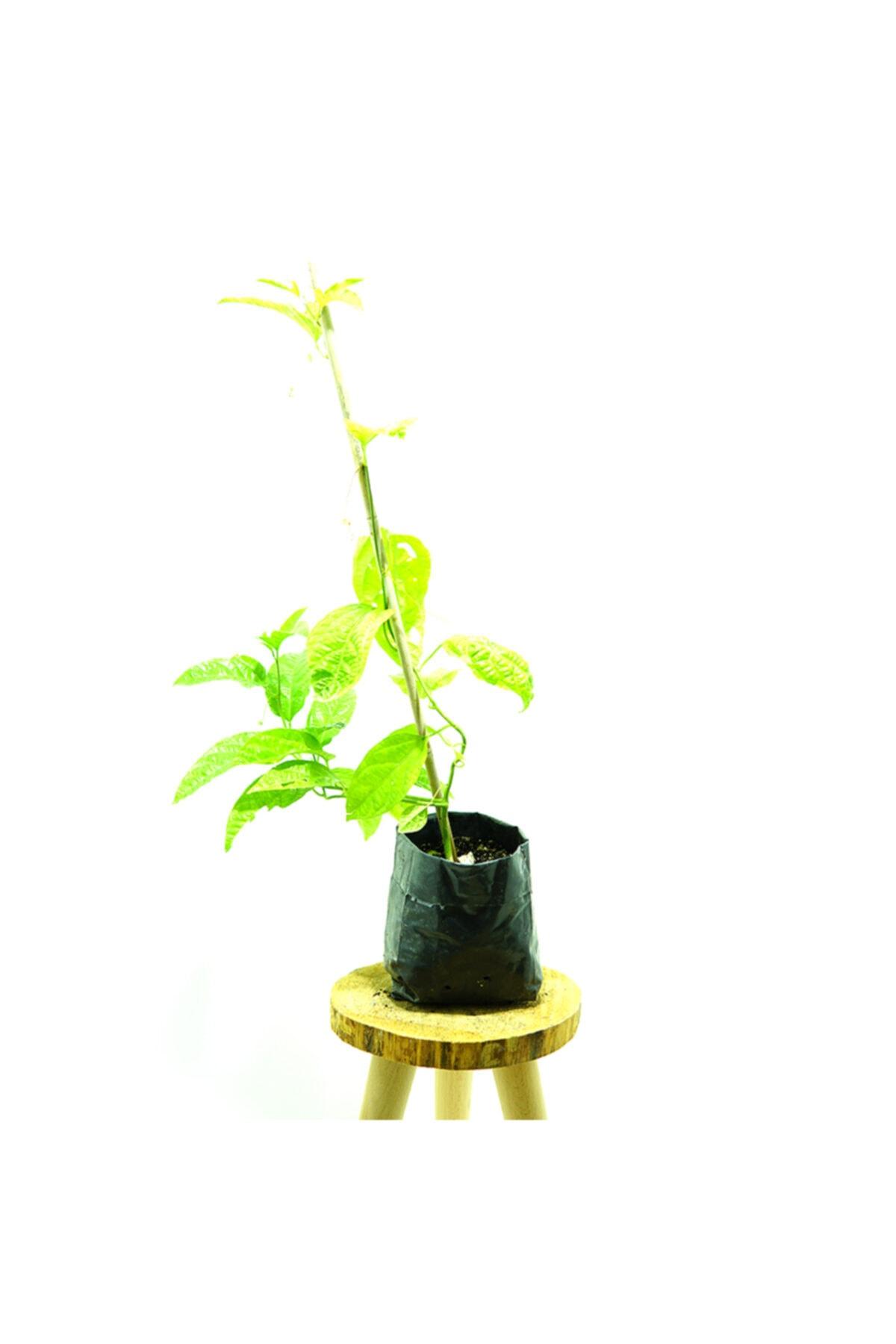 Kösem Botanik Pasiflora 2