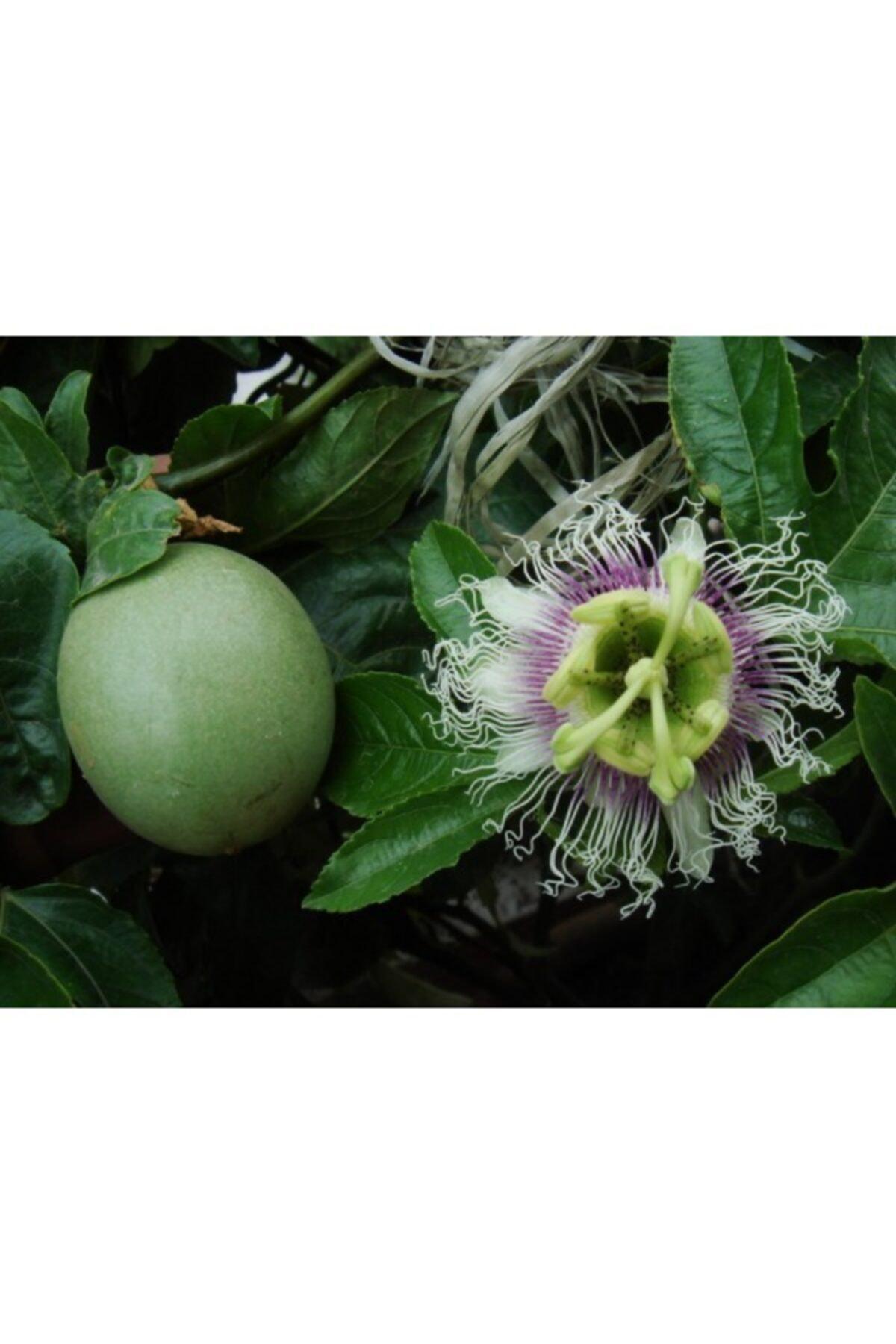 dogalfidan Pasiflora Fidanı Tüplü Aşılı 1