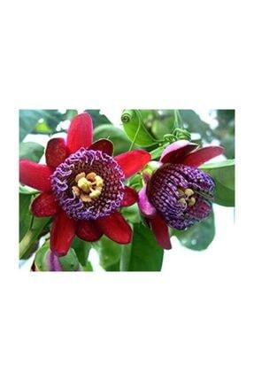 Çam Tohumculuk Nadir İthal Passiflora Tohumu 3 Adet Tohum Quadrangularis Pasiflora Tohumu