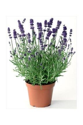 Berceste Peyzaj tasarım Lavanta Çiçeği 40 Cm Kokulu Aromatik Bahar Bitkisi Balkon Bitkisi Ev Bitkisi Dış Mekan Bitkisi