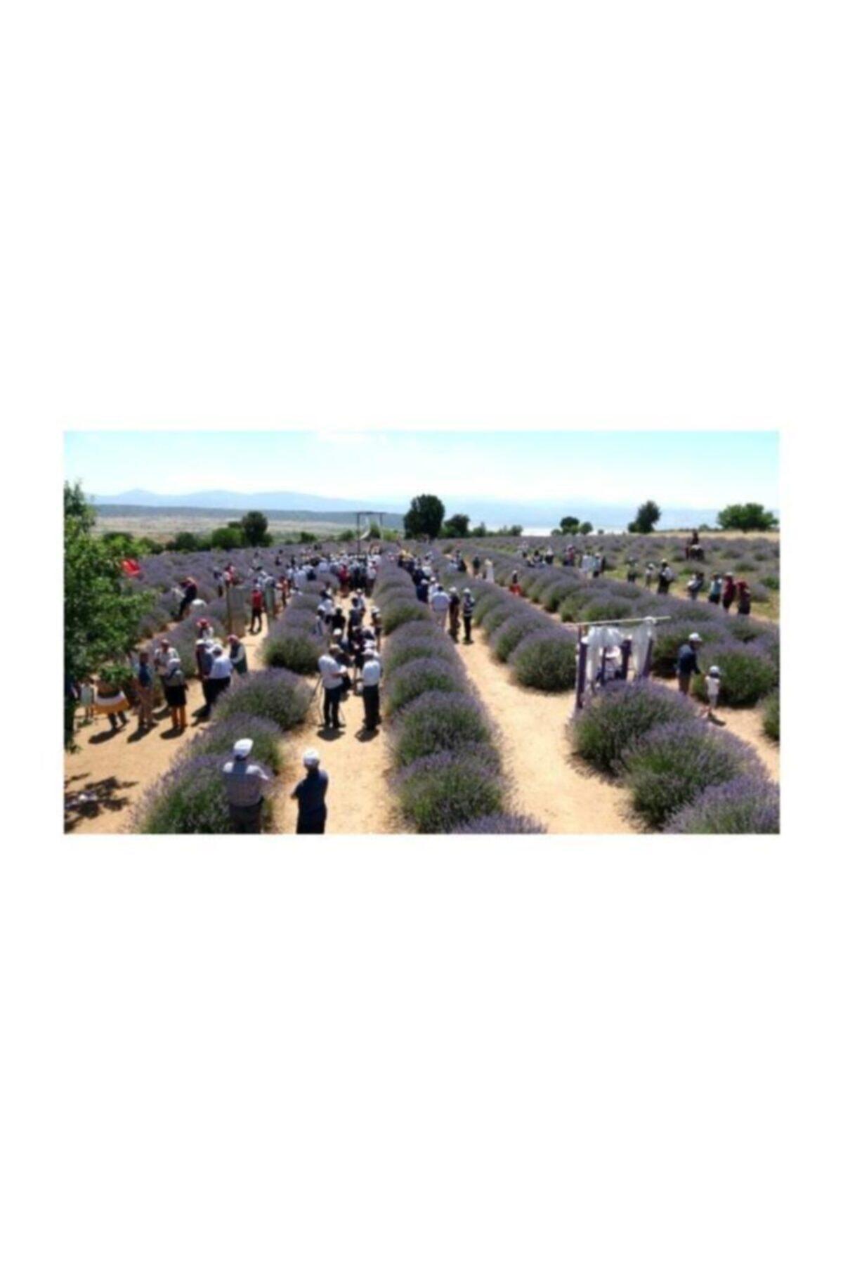 Lavendrose Lavanta Kokulu Köy Kuyucak Yeni Hasat Lavanta Kurusu 250 gr 2