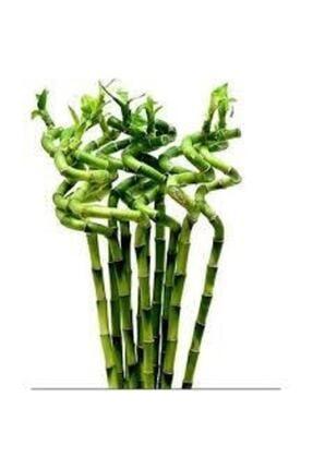butik flower Dal Bambu Lucky Bambu Şans Bambu 7'li 100 cm Salon Ev Bitkisi