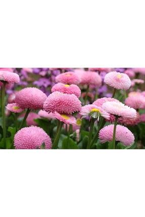 İthal Çiçekçilik Pembe Papatya Çayırgüzel Bellis Çiçeği