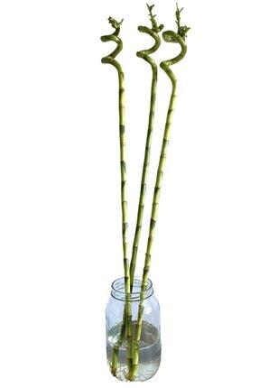 NADİR KAKTÜS 3lü Şans Bambusu 90-100 Cm