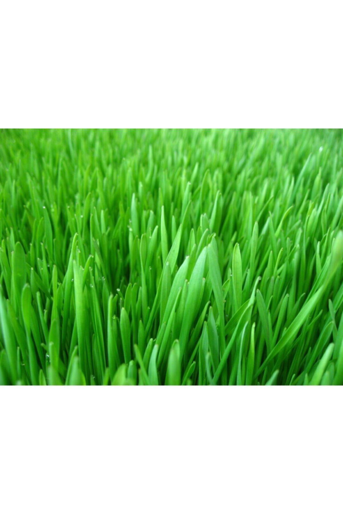 GRASS MIXTURE 4 Çeşit Çim Tohumu 1 Kg 2
