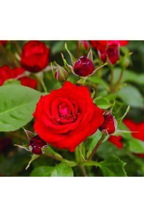 YAYLA TARIM 3 Adet Gül Fidanı ( Kırmızı Renk ) Açık Kök